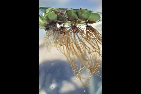 Floating fern Salvinia molesta - Figure 1a - Full image